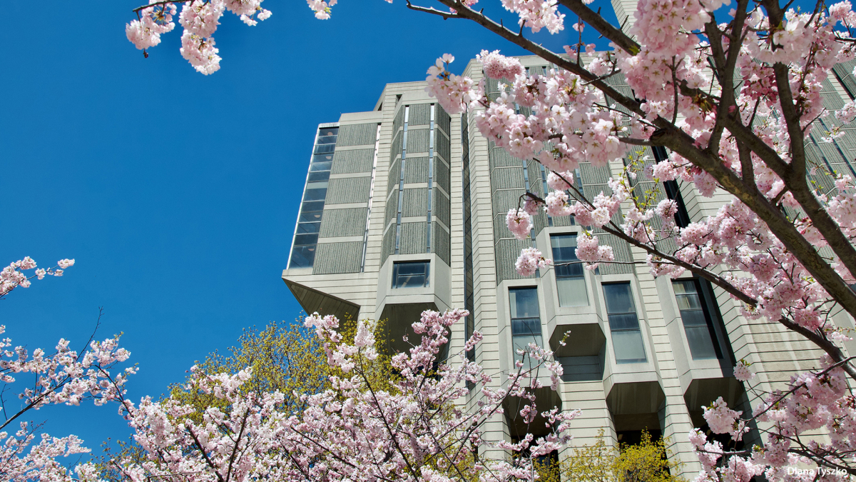 Cherry Blossom outside Robarts Library